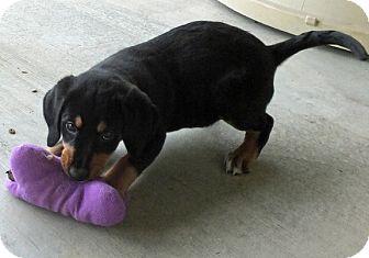King Charles Spaniel/Labrador Retriever Mix Puppy for adoption in Colville, Washington - Camille