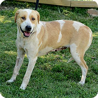 Great Pyrenees/Labrador Retriever Mix Dog for adoption in Stillwater, Oklahoma - Penny