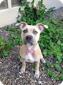 Pit Bull Terrier Puppy for adoption in Houston, Texas - Lady
