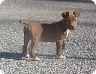 Labrador Retriever/Bull Terrier Mix Puppy for adoption in New Oxford, Pennsylvania - Mellon