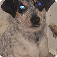 Adopt A Pet :: Queensland Heeler X - Aloha, OR