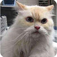 Adopt A Pet :: Armani - Arlington, VA