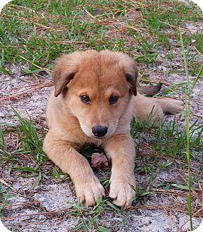 Golden Retriever/German Shepherd Dog Mix Puppy for adoption in Weeki Wachee, Florida - Maggie