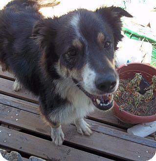 Australian Shepherd Dog for adoption in springtown, Texas - Glory