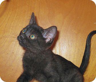 Domestic Shorthair Kitten for adoption in Fort Wayne, Indiana - Dorrie