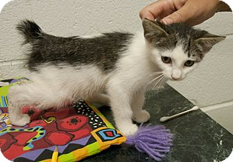 American Bobtail Cat for adoption in Lincolnton, North Carolina - Akela