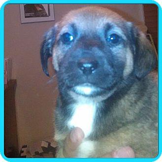 Beagle/Labrador Retriever Mix Puppy for adoption in Eden Prairie, Minnesota - BISCUIT