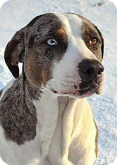 Catahoula Leopard Dog Mix Dog for adoption in Roundup, Montana - TINY LEGEND-JJ (UT)