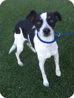 Rat Terrier Mix Dog for adoption in Las Vegas, Nevada - Nicholas