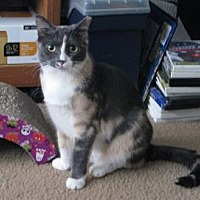 Calico Cat for adoption in Hamilton, New Jersey - KATIE
