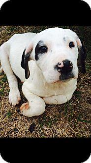 American Bulldog Mix Puppy for adoption in Brattleboro, Vermont - Bianca