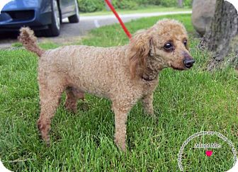 Poodle (Miniature) Dog for adoption in Sidney, Ohio - Rusty