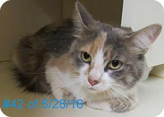 Domestic Longhair Cat for adoption in Gaylord, Michigan - Callie