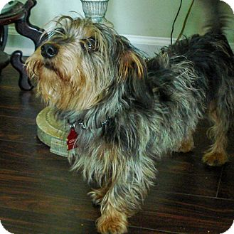 Wirehaired Fox Terrier/Dachshund Mix Dog for adoption in Savannah, Georgia - Goalie
