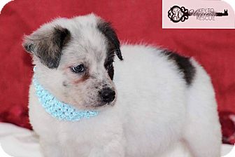 Collie Mix Puppy for adoption in DeForest, Wisconsin - Hannah