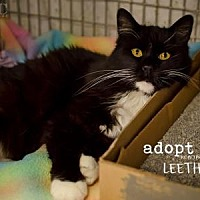 Domestic Longhair/Domestic Shorthair Mix Cat for adoption in Kansas City, Missouri - Leetha