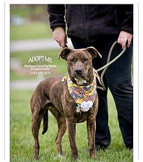 Labrador Retriever/Hound (Unknown Type) Mix Dog for adoption in Zanesville, Ohio - Bella @ Animal Shelter