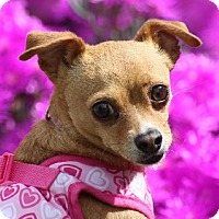 Adopt A Pet :: BALLERINA - Corona, CA