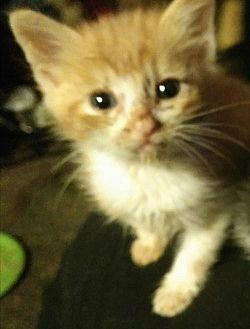 American Shorthair Kitten for adoption in Corona, California - CANCUN