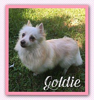 American Eskimo Dog/Pomeranian Mix Dog for adoption in Fort Wayne, Indiana - Goldie
