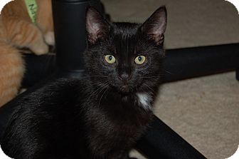Domestic Shorthair Cat for adoption in Burlington, Ontario - Brooks