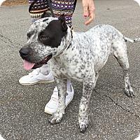 Adopt A Pet :: Pebbles - Boston, MA