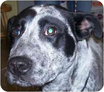 Pointer/Border Collie Mix Dog for adoption in Marseilles, Illinois - Tripp