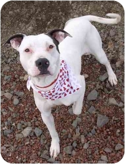 Pit Bull Terrier Mix Dog for adoption in Phoenix, Oregon - Opal