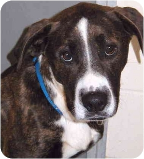 Hound (Unknown Type)/Staffordshire Bull Terrier Mix Dog for adoption in Grass Valley, California - Hector