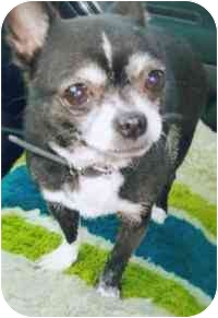 Chihuahua Dog for adoption in Old Bridge, New Jersey - Snoopy