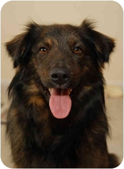 Australian Shepherd/Labrador Retriever Mix Dog for adoption in Bowie, Maryland - Jed