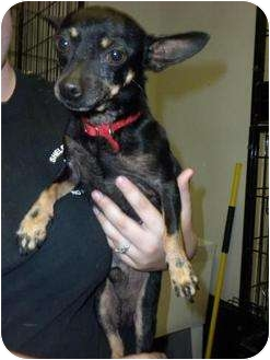 Chihuahua Mix Dog for adoption in Shelbyville, Kentucky - Lemur