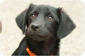 Border Collie/Labrador Retriever Mix Puppy for adoption in Litchfield, Connecticut - Kisska