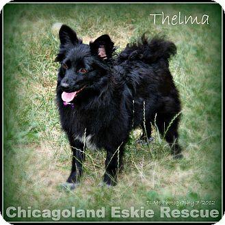 Spitz (Unknown Type, Small) Mix Dog for adoption in Elmhurst, Illinois - Thelma