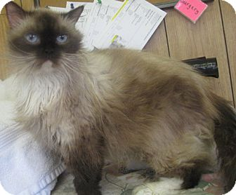 Persian Cat for adoption in Newberry, South Carolina - Prissy