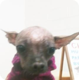 Chinese Crested Mix Dog for adoption in Tucson, Arizona - Myiah
