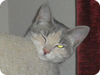 Domestic Shorthair Cat for adoption in Bentonville, Arkansas - Skack