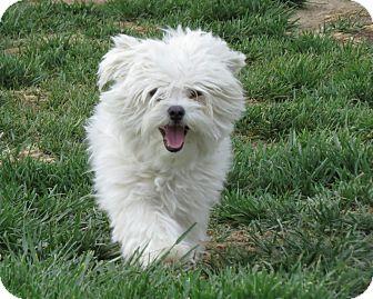Maltese Mix Dog for adoption in Meridian, Idaho - Olivia