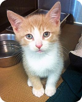 Domestic Shorthair Kitten for adoption in Secaucus, New Jersey - James