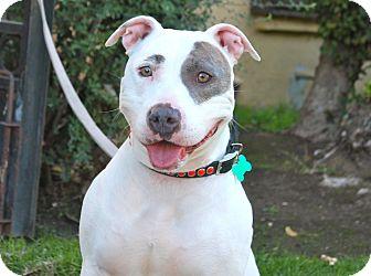 Dogo Argentino Mix Dog for adoption in Los Angeles, California - Whitney