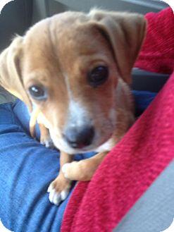Labrador Retriever Mix Puppy for adoption in waterbury, Connecticut - Cherokee