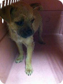 Pug/Chihuahua Mix Puppy for adoption in Darlington, South Carolina - Fabi