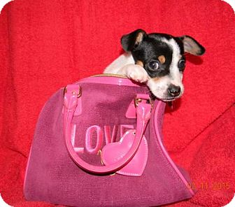 Jack Russell Terrier Puppy for adoption in Chester, Illinois - Rico