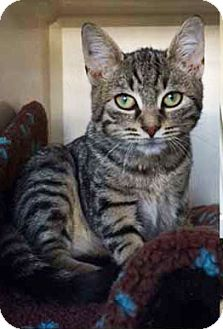 Domestic Shorthair Kitten for adoption in South Orange, New Jersey - Virginia