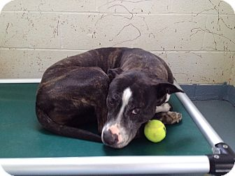 American Staffordshire Terrier Mix Dog for adoption in Chambersburg, Pennsylvania - April