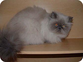 Himalayan Cat for adoption in Newburgh, Indiana - Sue Lynn