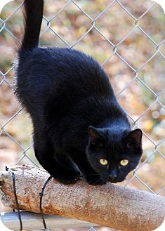 American Shorthair Kitten for adoption in Salem, West Virginia - Roxie