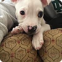Adopt A Pet :: Ollie - Hixson, TN