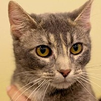 Domestic Shorthair Cat for adoption in Eldora, Iowa - Felicity