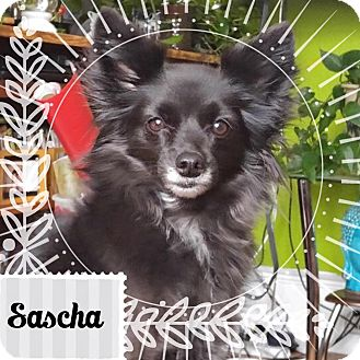 Pomeranian Mix Dog for adoption in Barriere, British Columbia - Sascha - ADOPTION PENDING